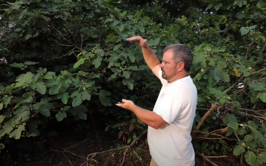 Pruning fig tree: How the professionals do it